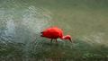 ริมน้ำ Scarlet Ibis 16920069