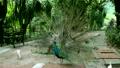 นกยูง 16920525