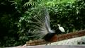 นกยูงแก่ 16920526