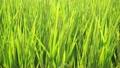 Summer rice 17050577