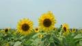 Sunflower field 17050650