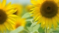 Sunflower field 17050651