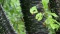 葉蔭で雨をしのぐセミ達 17104791