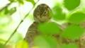 野生のエゾシマリス 17408541