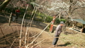 Motion Control Time Lapse of Japanese Plum Trees -Tilt Up/Pan Right- Rotation 17465426
