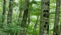 ブナ林・・・大万木山の森 17483315