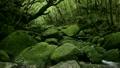 6月初夏 屋久島の白谷雲水峡 17513283