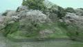Chidorigafuchi的樱花 17531224