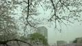 Chidorigafuchi的樱花 17531225