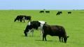 7月 夏の能取(のとろ)岬の牧場風景 17625160