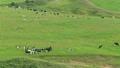 7月夏 北海道豊富町の大規模草地放牧場のホルスタイン放牧風景 17643258