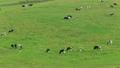 7月夏 北海道豊富町の大規模草地放牧場のホルスタイン放牧風景 17643259