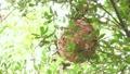 キイロスズメバチの巣2 17650802