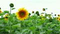 ひまわり 向日葵 植物の動画 18055804