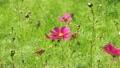 Cosmos flowers 18087311