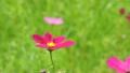 Cosmos flowers 18087312