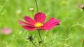 Cosmos flowers 18087313