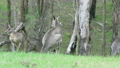 Tracking shot of a kangaroo hopping in a forest 18257588