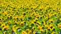 ดอกทานตะวันด้านหนึ่ง 18301550