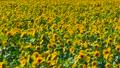 ดอกทานตะวันด้านหนึ่ง 18301553