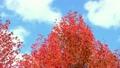 紅葉する楓 18520675