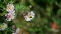 花アブとノジギク 18529214