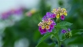 Beautiful blooming Lantana flowers swaying in the wind 18622833