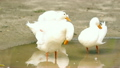White ducks drinking water and cleaning body. 18718477
