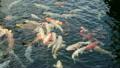 一條鯉魚 19241975