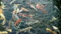 一條鯉魚 19262545