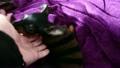 飼い主の手にじゃれるミニチュアピンシャーの子犬:ペットと飼い主 19264091