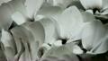 水滴に打たれる白いシクラメン 19283750