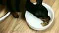 ドッグフードを夢中で食べる子犬。ミニチュアピンシャー生後2ヶ月 19287972