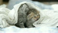 Cute tabby kittens playing under white blanket 19509236