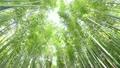 6月初夏 新緑の嵯峨野 竹林の道  19678300