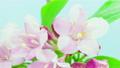Weigela florida blooming timelapse 19729567