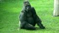 chewing gorilla male, severe silverback 19942556
