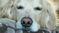 睡覺的金毛獵犬 20226809