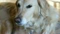 一隻打呵欠的金毛獵犬 20230202