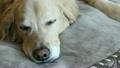 金毛獵犬睡覺 20230203