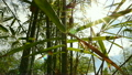 Bamboo forest with sun flare, Pan shot 20290168