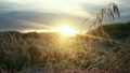 Iceland sunset with reeds and grass blowing in win 20508314