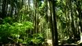 木漏れ日 杉林 林道の動画 20636863