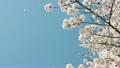 桜吹雪のアニメーション 20638016