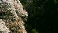 野山樱桃在风中颤抖 20640371