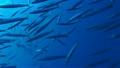 ダイビング 魚群  20734900