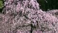 2月左边的粉红色多彩李子梅滑 20829332