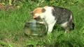 Tabby cat catching fish upset glass aquarium and w 20916577