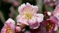 粉红色的垂枝梅花 20966005