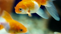 Goldfish Swimming in the Water Close-Up 21079725